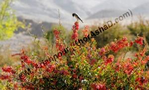 برداشت زرشک - خراشاد - مهرماه 87 (Berberis, Khorashad, Iran)