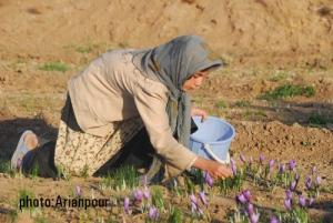 برداشت زعفران - روستای فریز