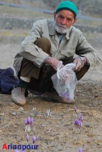 برداشت زعفران در خراشاد- آبانماه 1387
