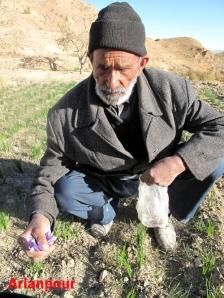 برداشت زعفران - پیرمرد کشاورز از اهالی خراشاد