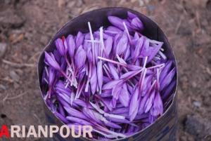 زعفران- خراشاد (Saffron - Khorashad)