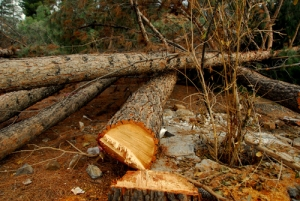قطع غیرقانونی درختان - بیرجند