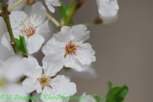 arianpour_spring_flower_2