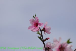 arianpour_spring_flower_4