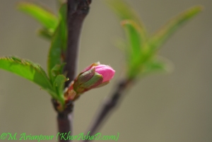 arianpour_spring_flower_6