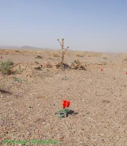 دشت لاله ها- روستای بسطاق - شهرستان سرایان
