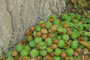 Walnut - Khorashad
