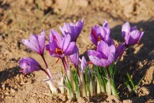 Red gold (saffron) festival
